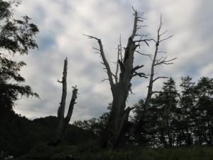 兄弟と呼ばれている巨木